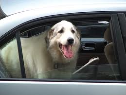 A dog ready for a ride in a car