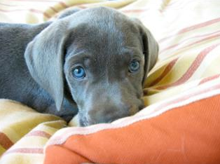 Calm puppy on dog bed