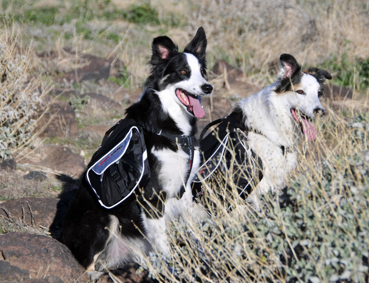 EzyDog Summit backpack with two dogs