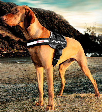 EzyDog dog wearing a Convert Harness ready for a run