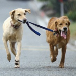 Questions answered: Double dog leash extensions equal less work