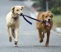 Two dogs out for a stroll
