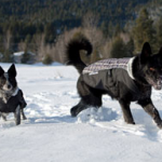A few reasons to put a coat on your dog – Important for winter weather!