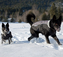 Dogs in snow with EzyDog dog jackets