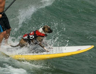 Ralf surfing dog with micro-doggy life jacket